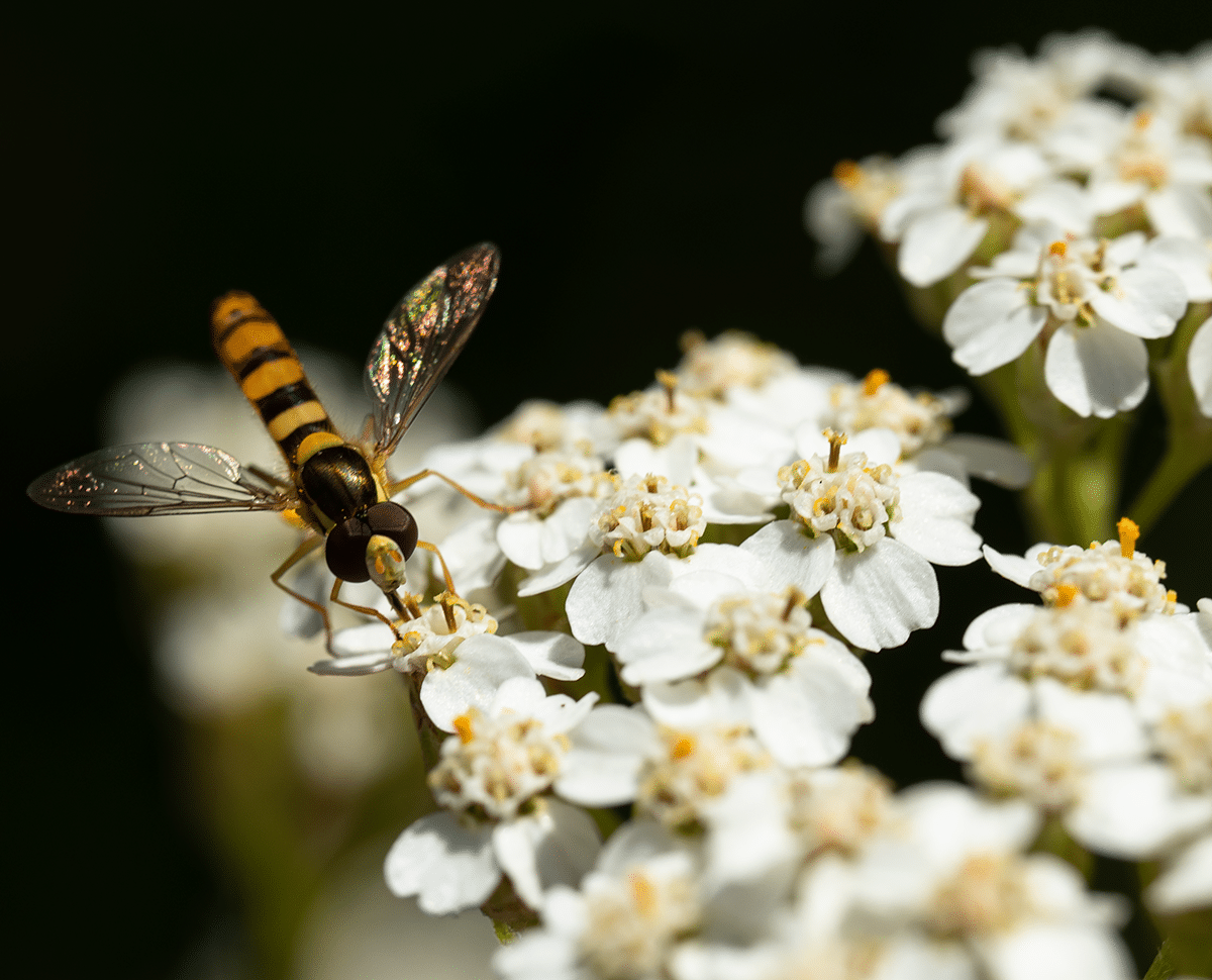 Hoverfly.png