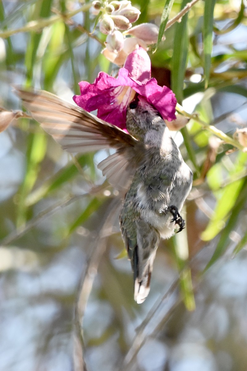 Humming Bird1 8-11-19 rs.jpg