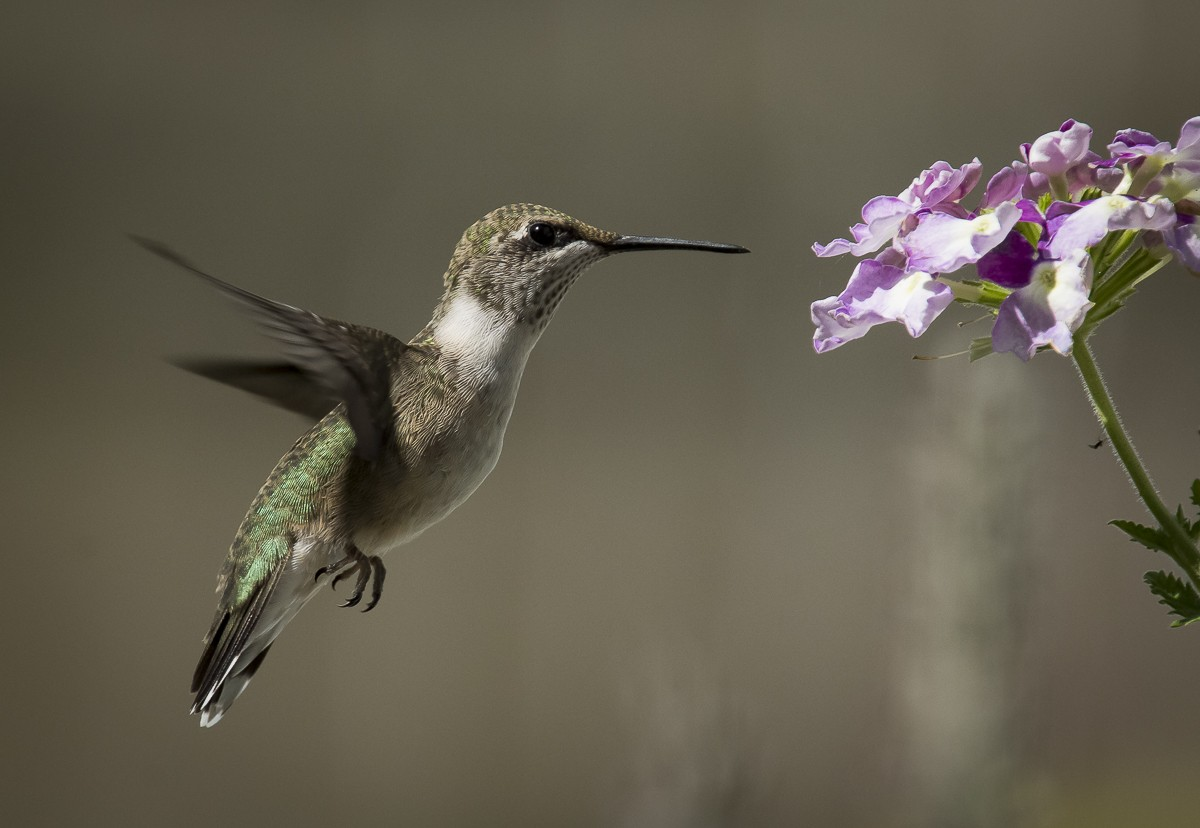 Hummingbird and Purple Flowers.JPG