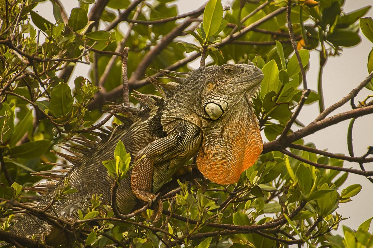 Iguana Big Pouch.jpg