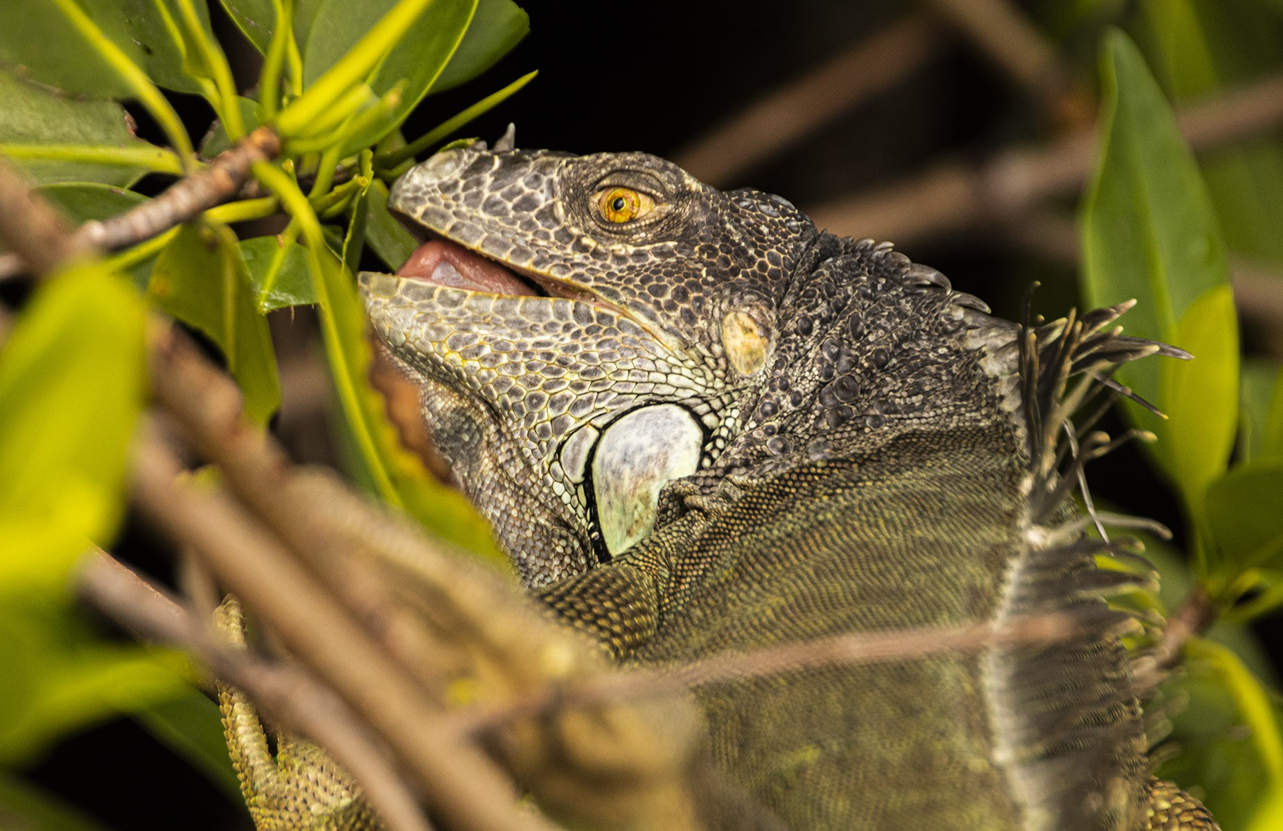 Iguana Closeup by Bridge.jpg