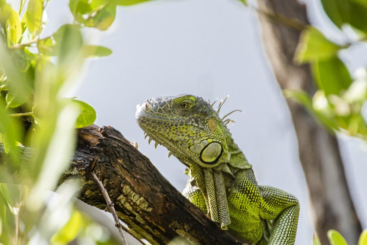 Iguana Framed.jpg