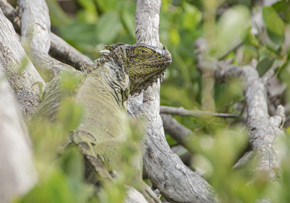 Iguana Looking From Tree.jpg