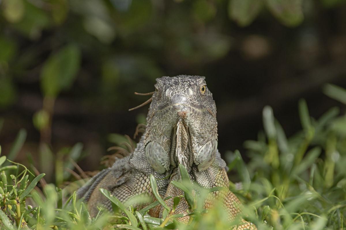 Iguana Looking Full On.jpg