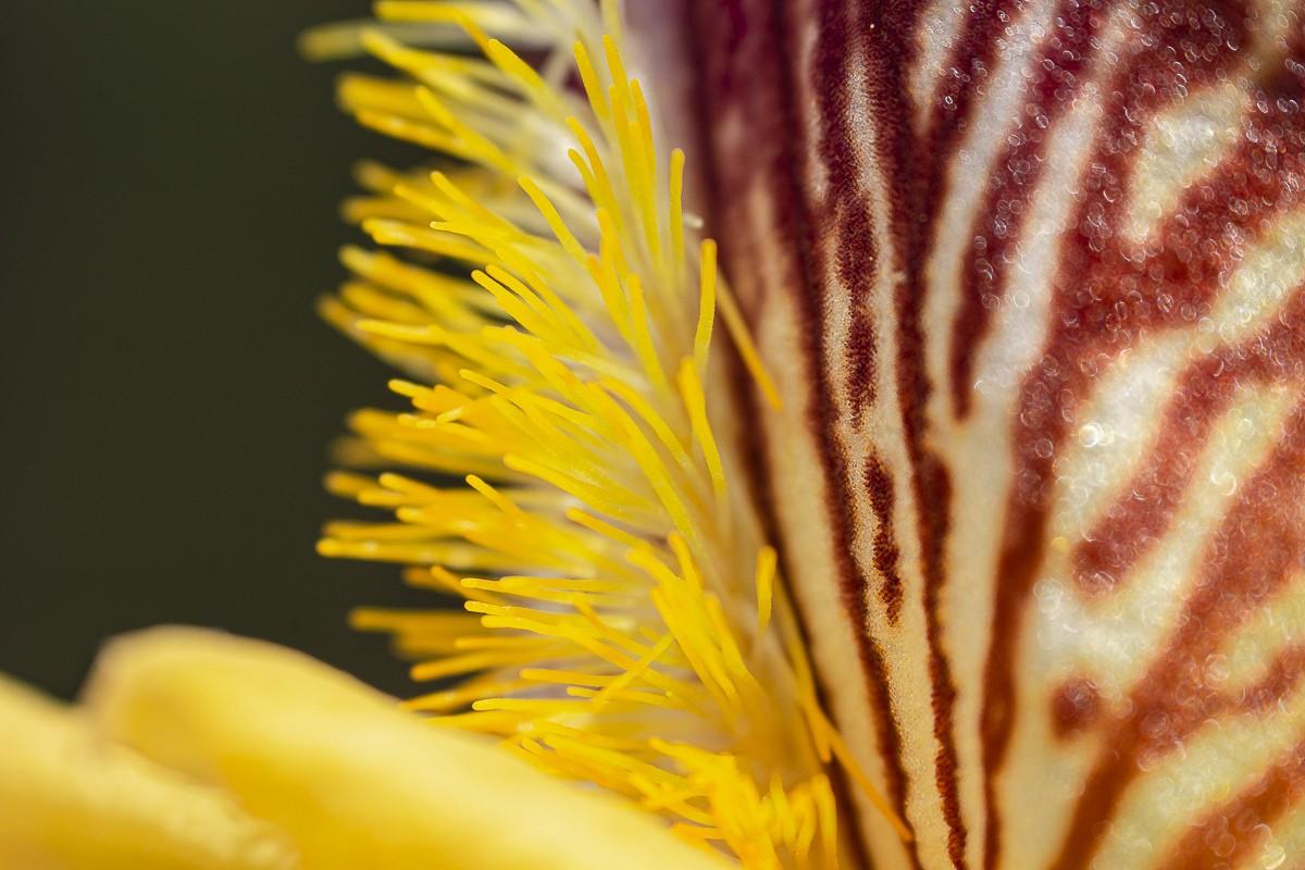 Iris 3.jpg