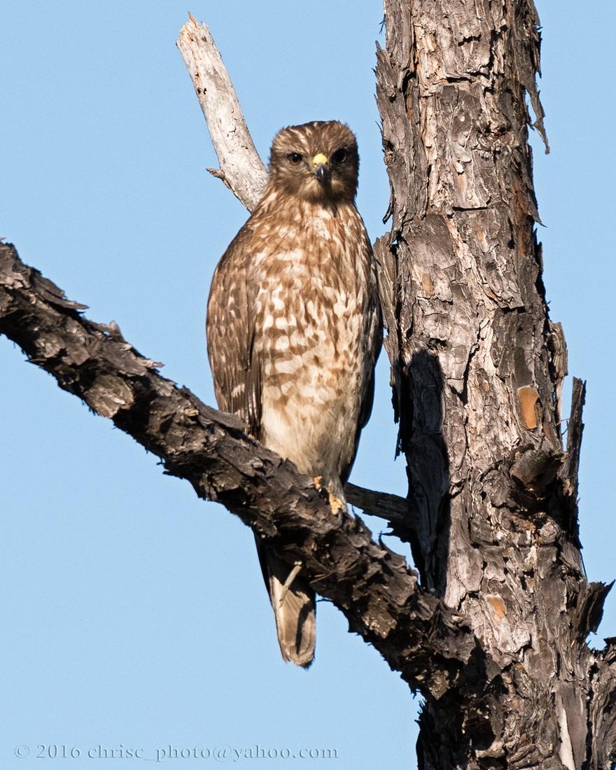 Juvenile-Red-Shouldered-Hawk.jpg