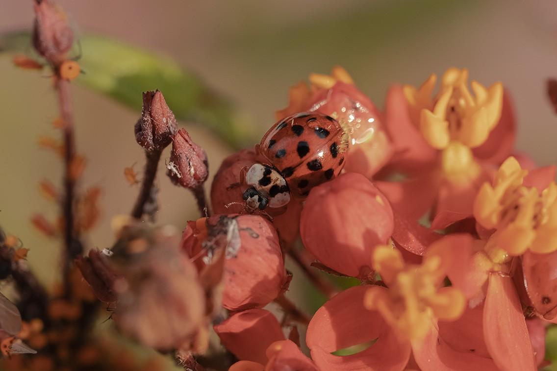 Ladybug and Aphids.jpg