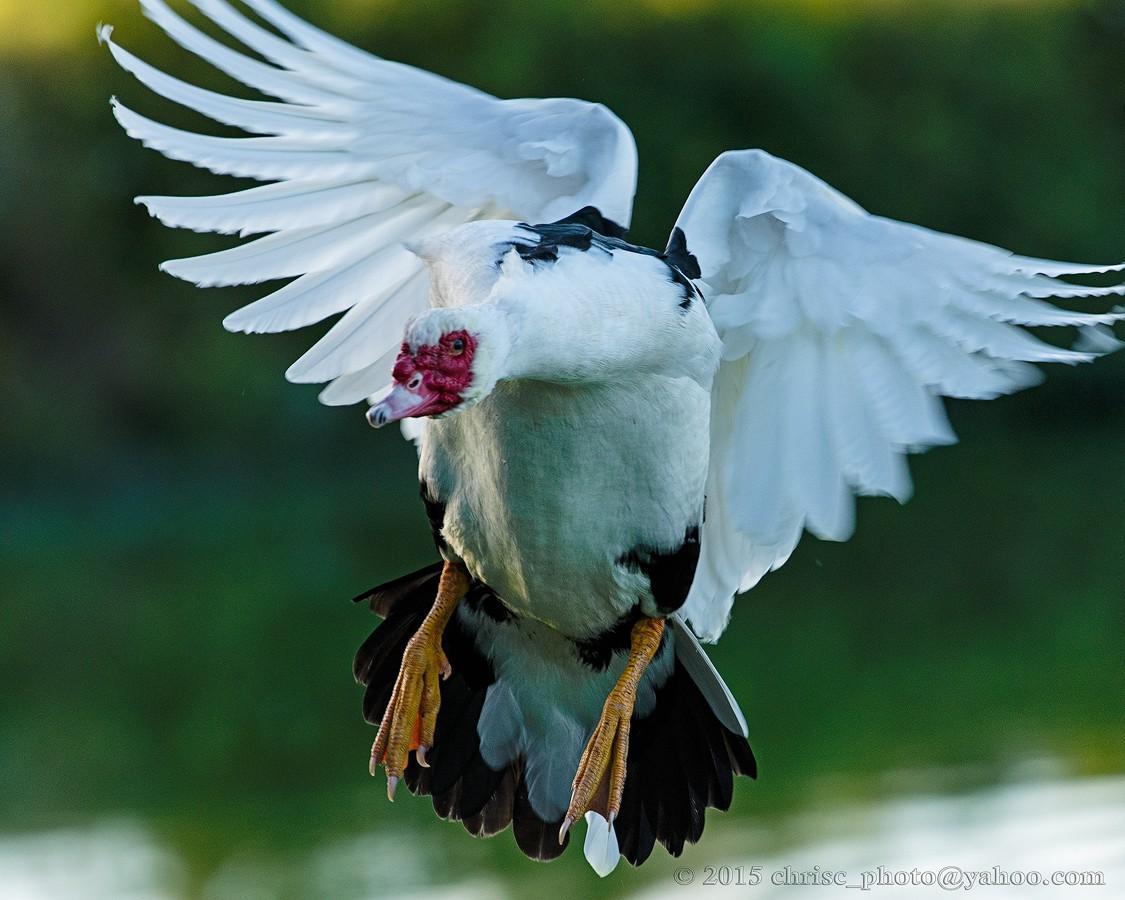 lead-duck-2.jpg
