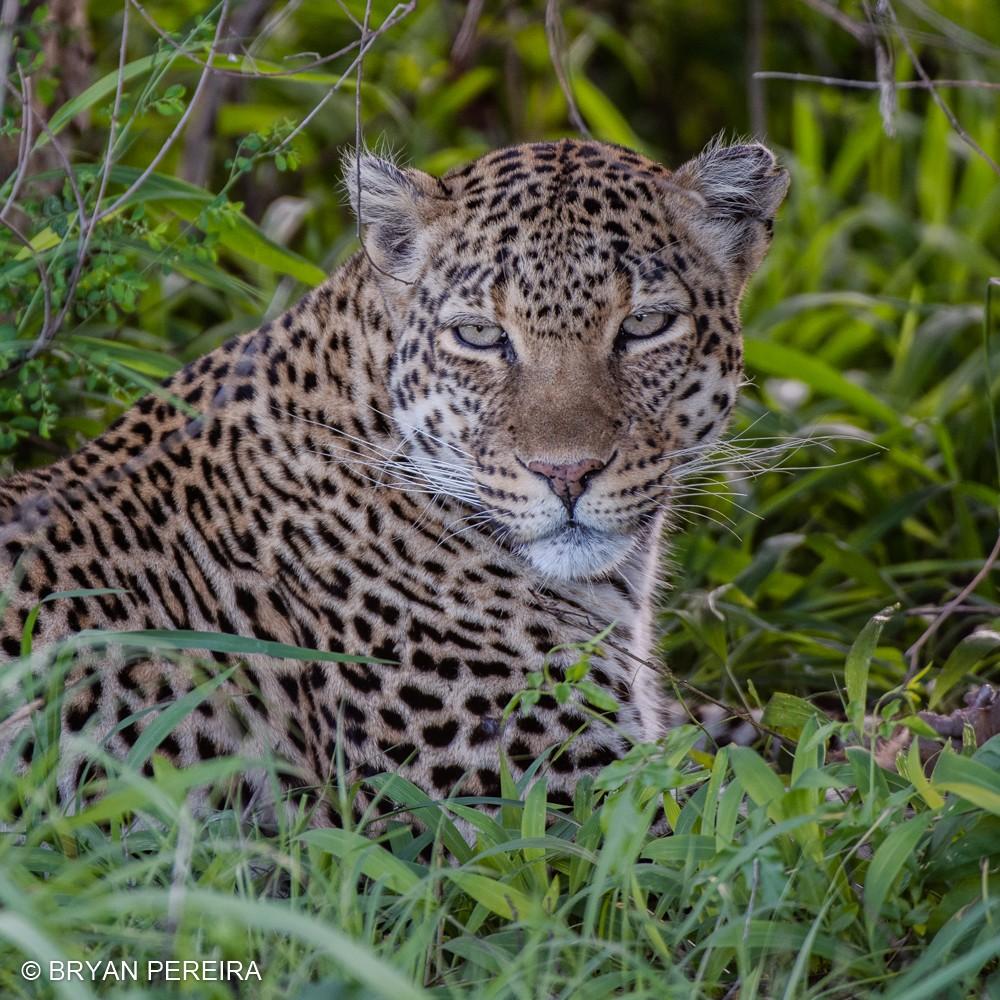 leopard bryan pereira.jpg