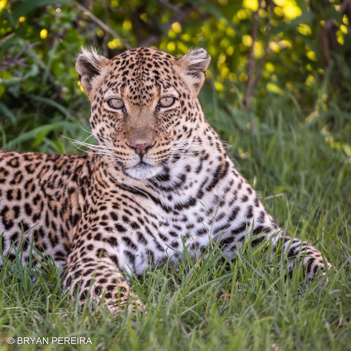 leopard sitting bp1.jpg