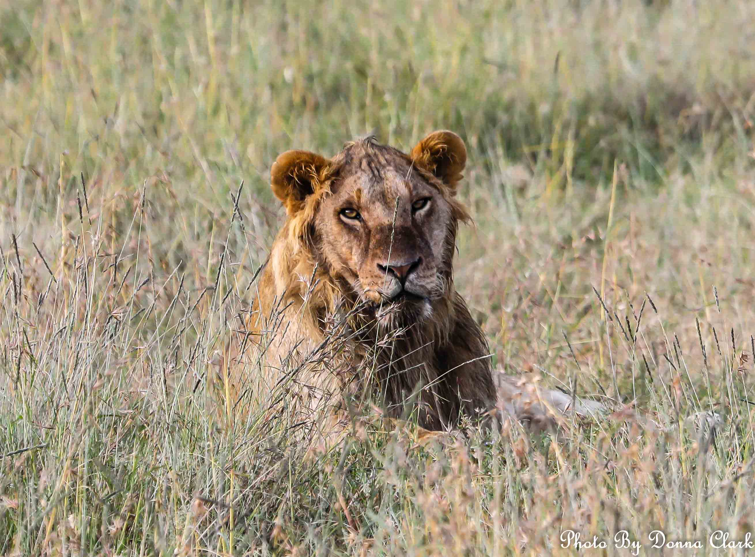 Lion 2 (1 of 1).jpg