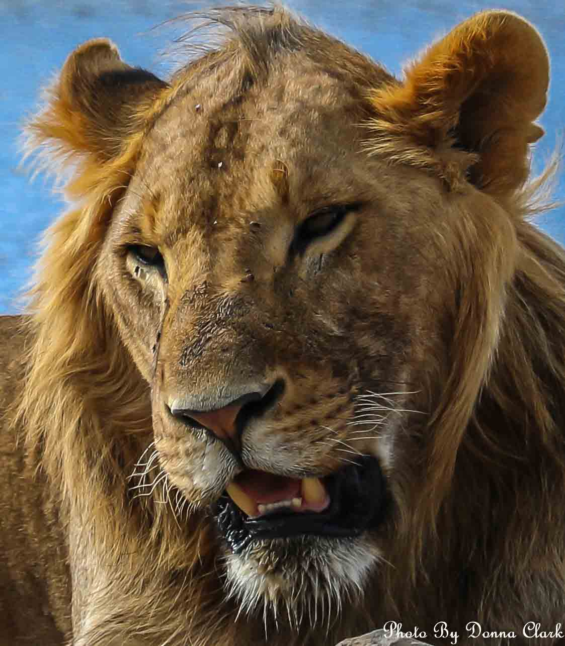 Lion 6 (1 of 1).jpg
