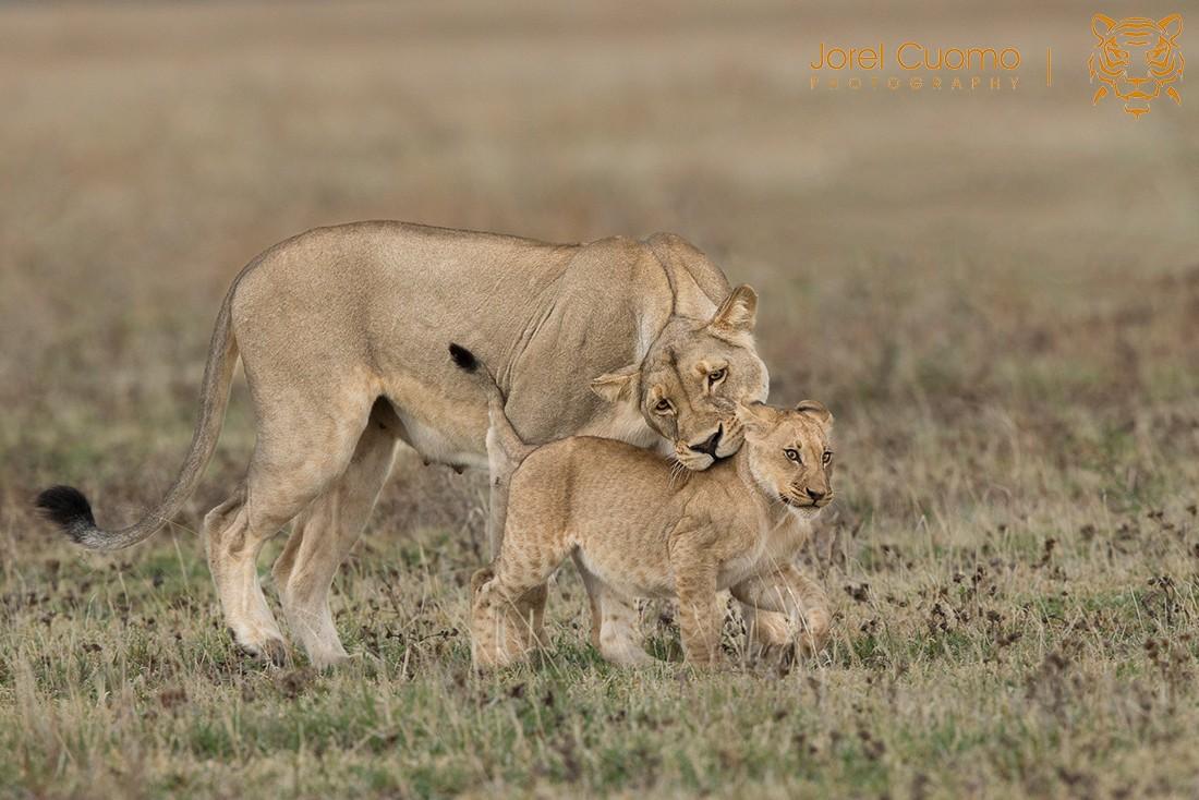 lionandcub-fm.jpg