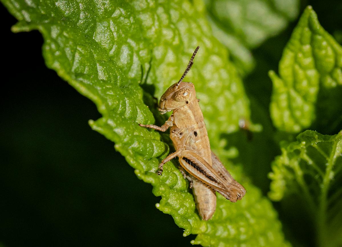 Little Grasshopper on Mint.png