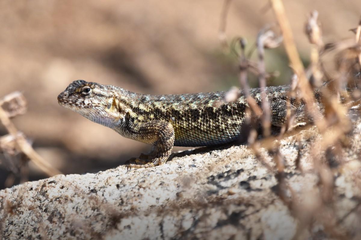 Lizard3a rs.jpg