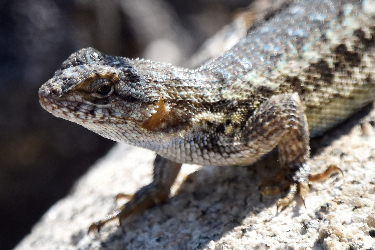 Lizard3b rs.jpg
