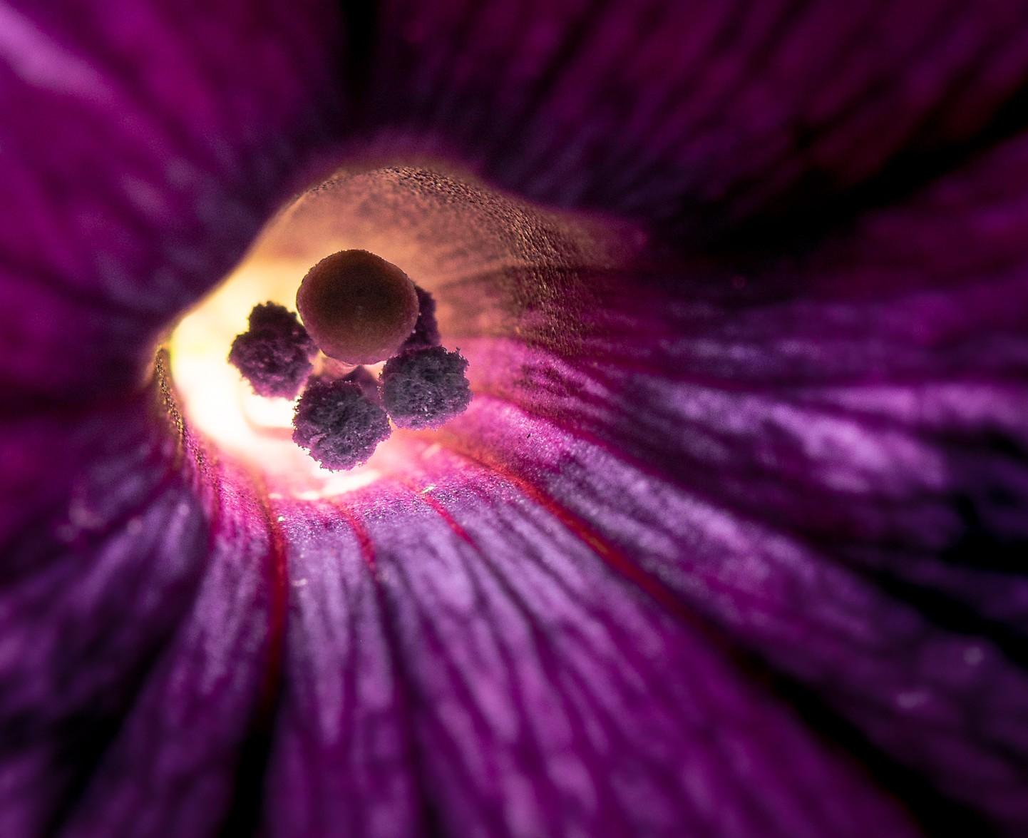 Macro backlit petuntias-1-2.jpg