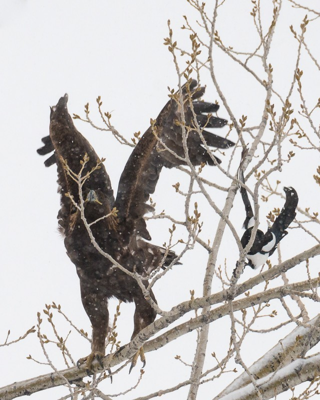 Magpie and Golden Eagle-1-3.jpg