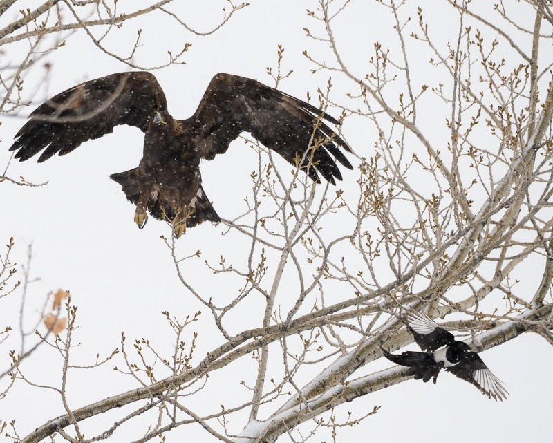 Magpie and Golden Eagle-1-4.jpg