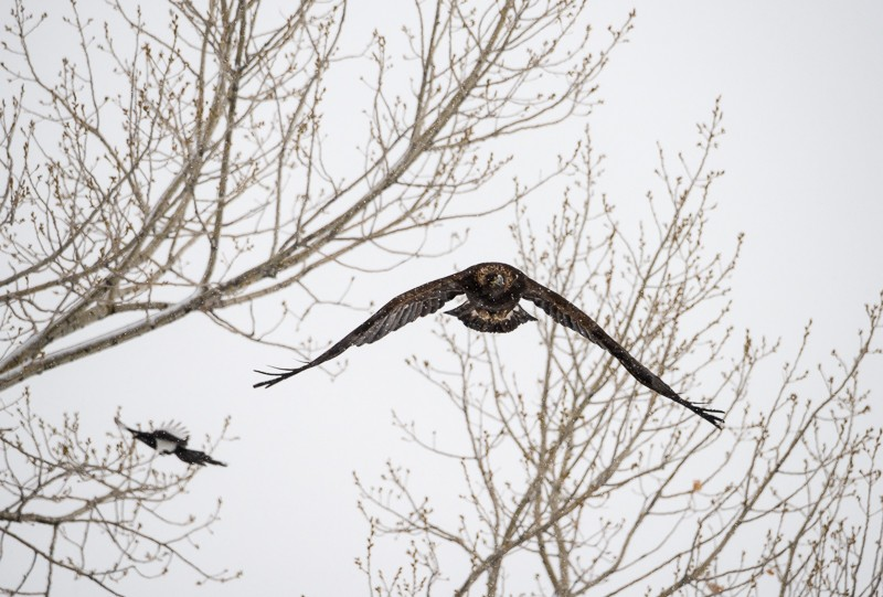 Magpie and Golden Eagle-1-7.jpg