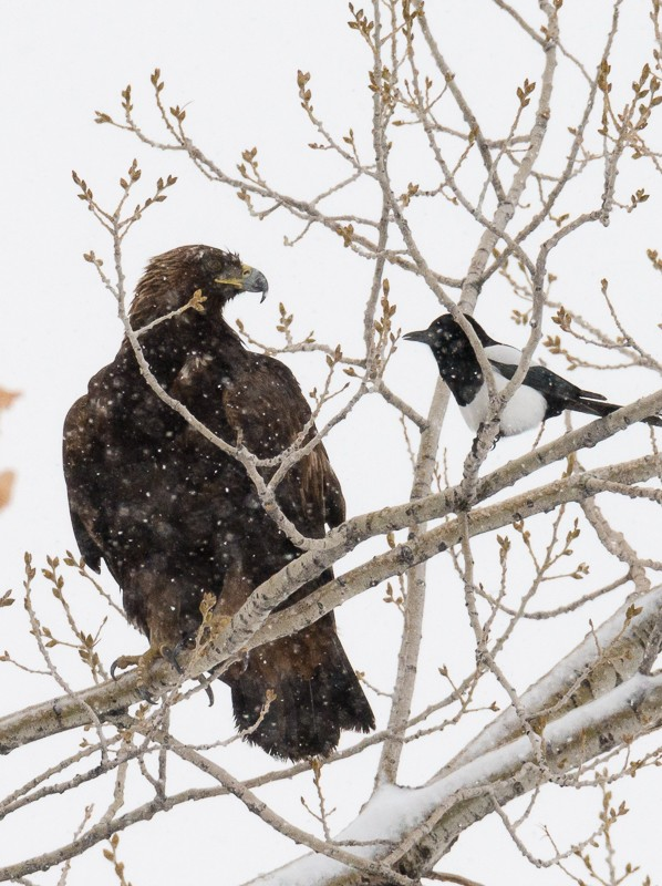 Magpie and Golden Eagle-1.jpg