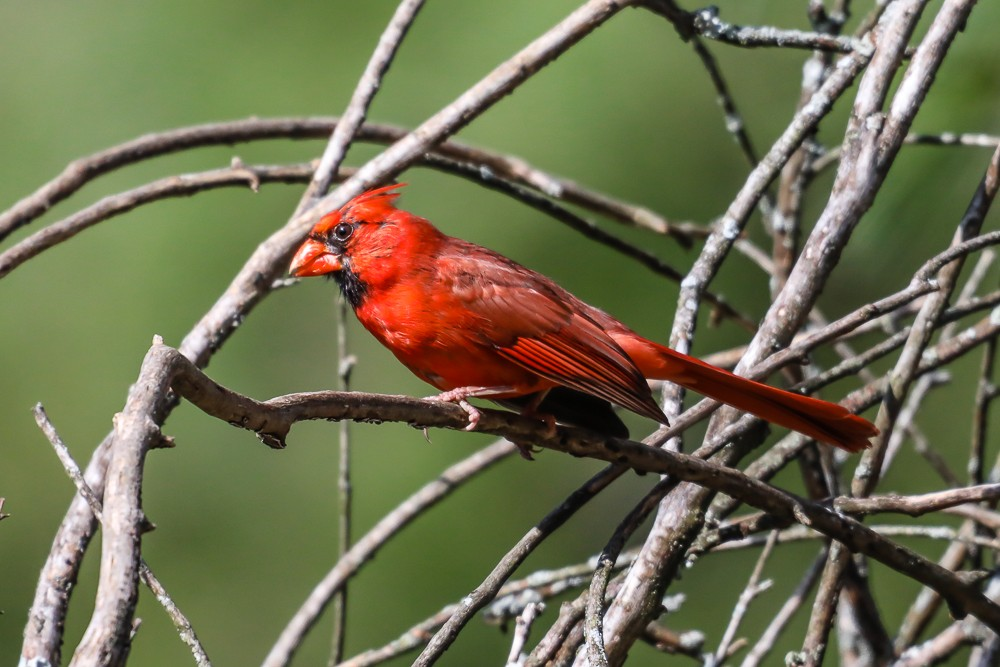 Male Cardinal 1 (1 of 1).jpg