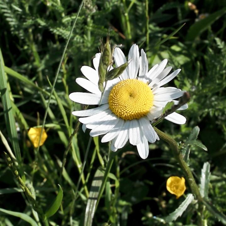 meadow flowers 4 - 1.jpg