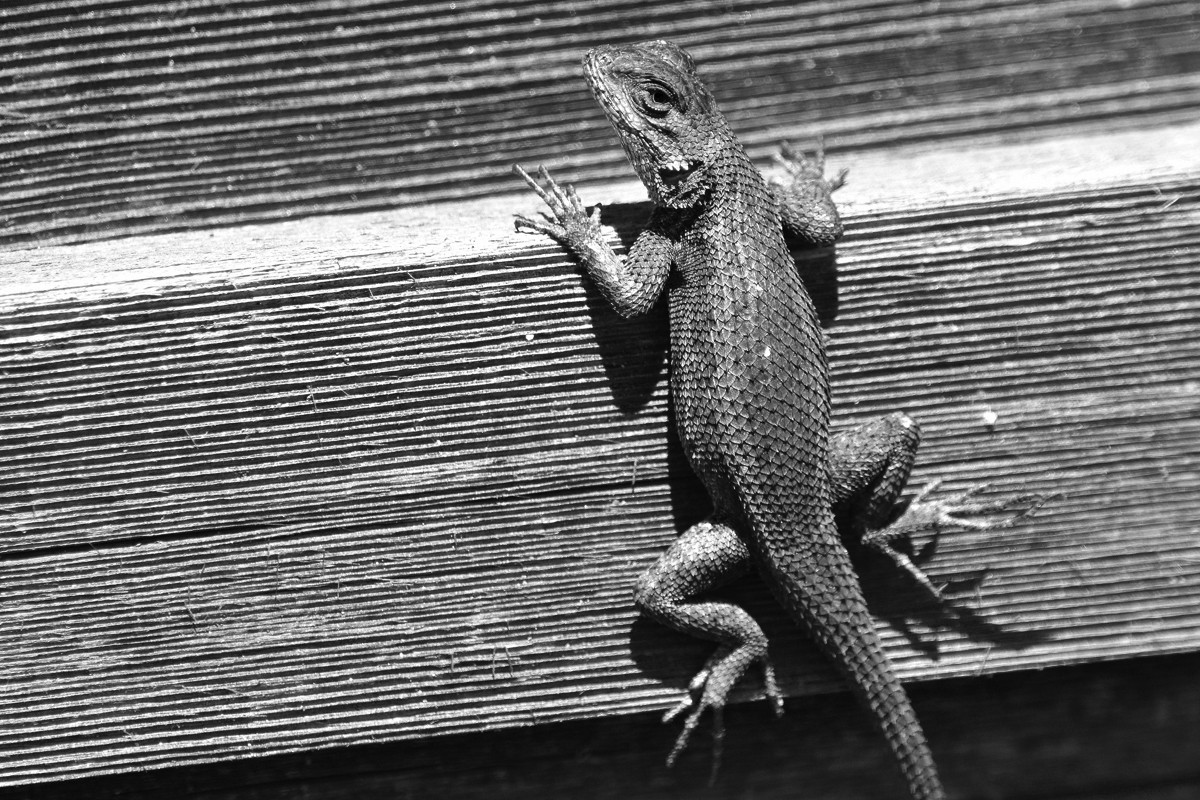 Monochrome Lizard -rs.jpg
