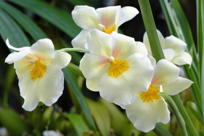 Orchis Impression Original.jpg