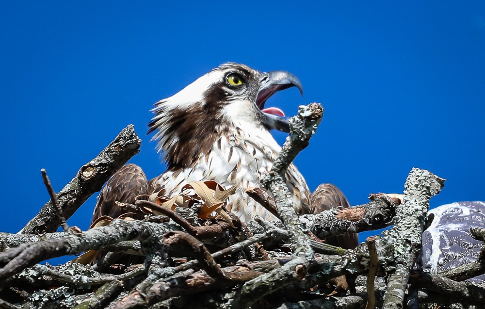 Osprey Nest 11 (1 of 1).jpg