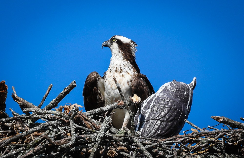 Osprey Nest 2 (1 of 1).jpg