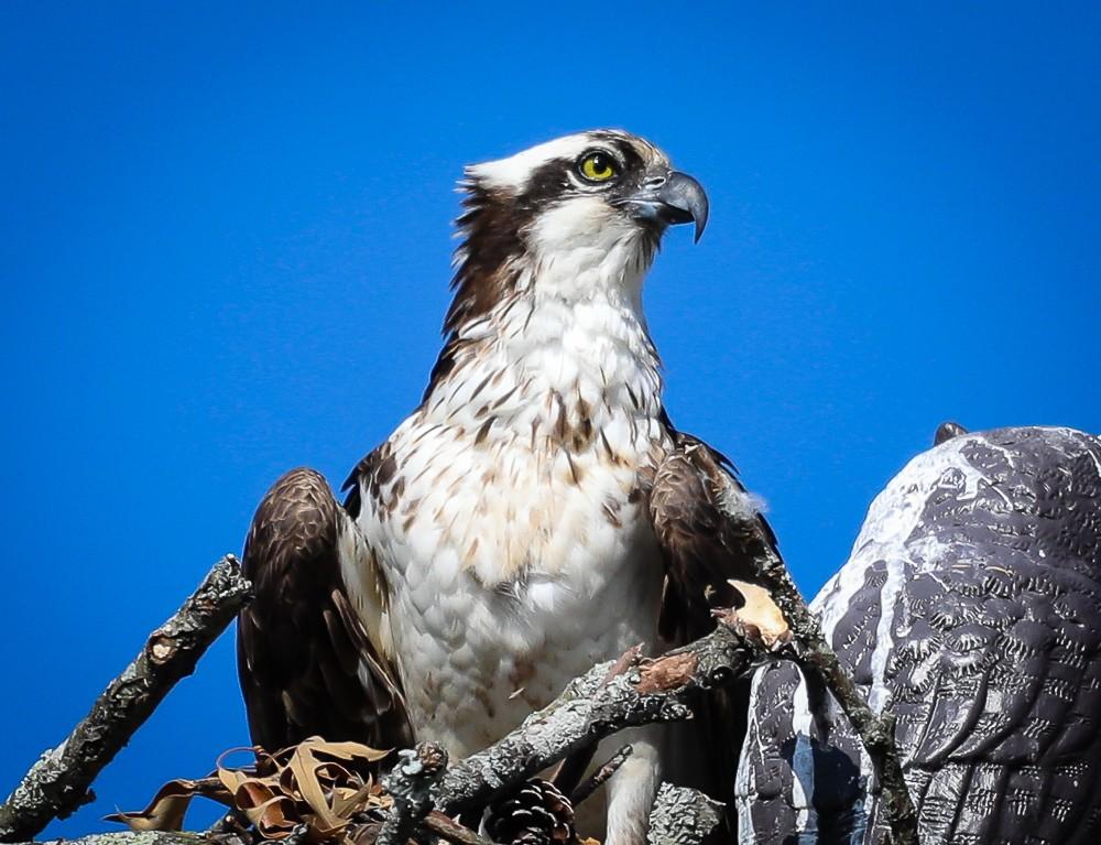 Osprey Nest 3 (1 of 1).jpg