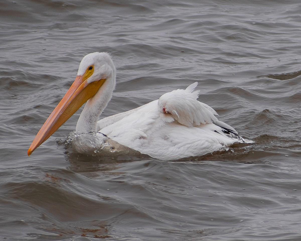 Pelican-0014.jpg