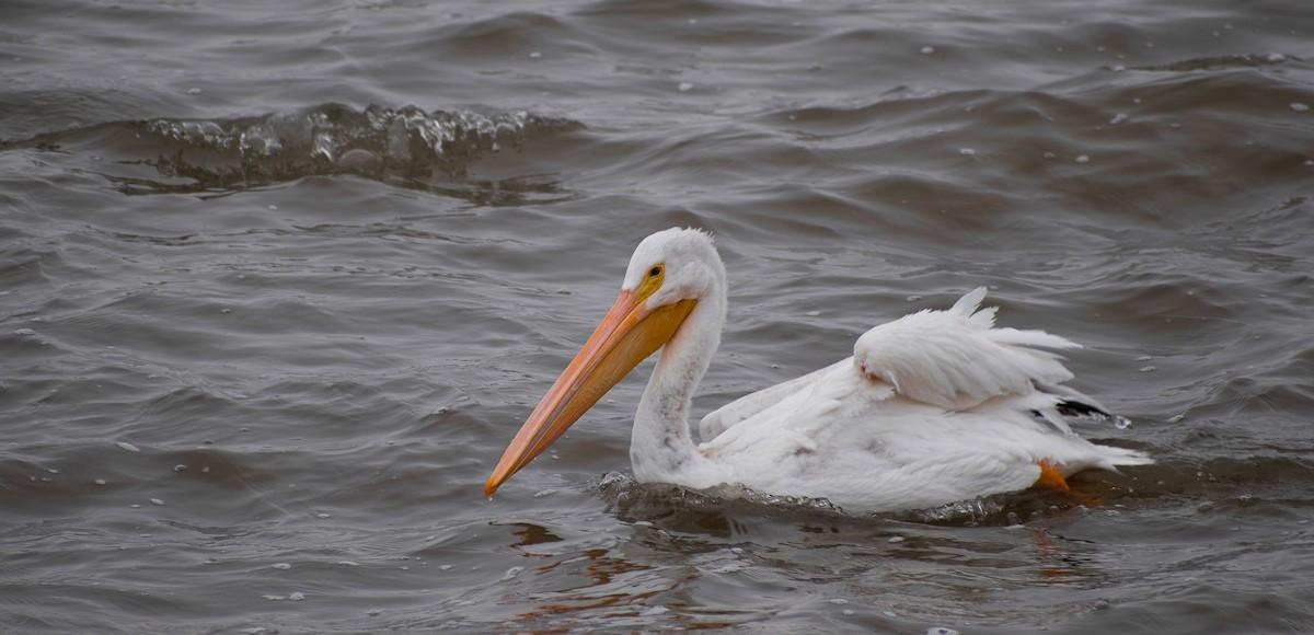 Pelican-0024.jpg