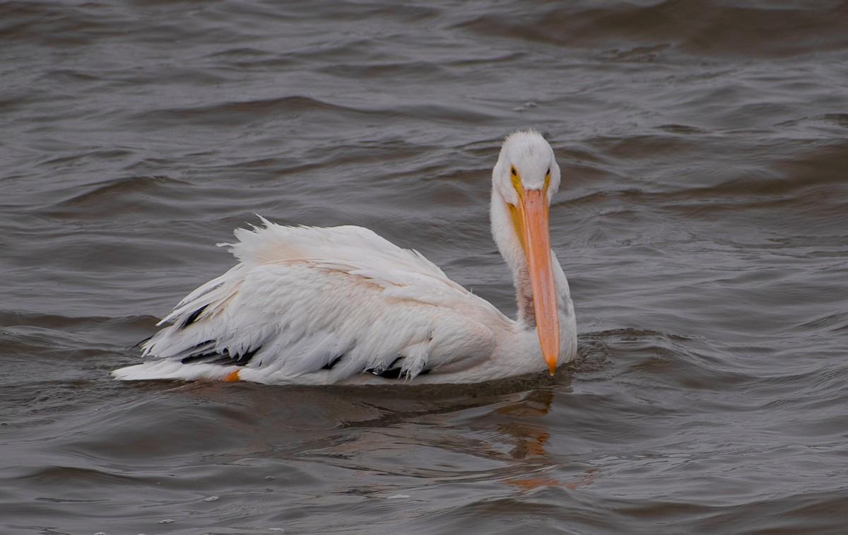 Pelican-0396.jpg