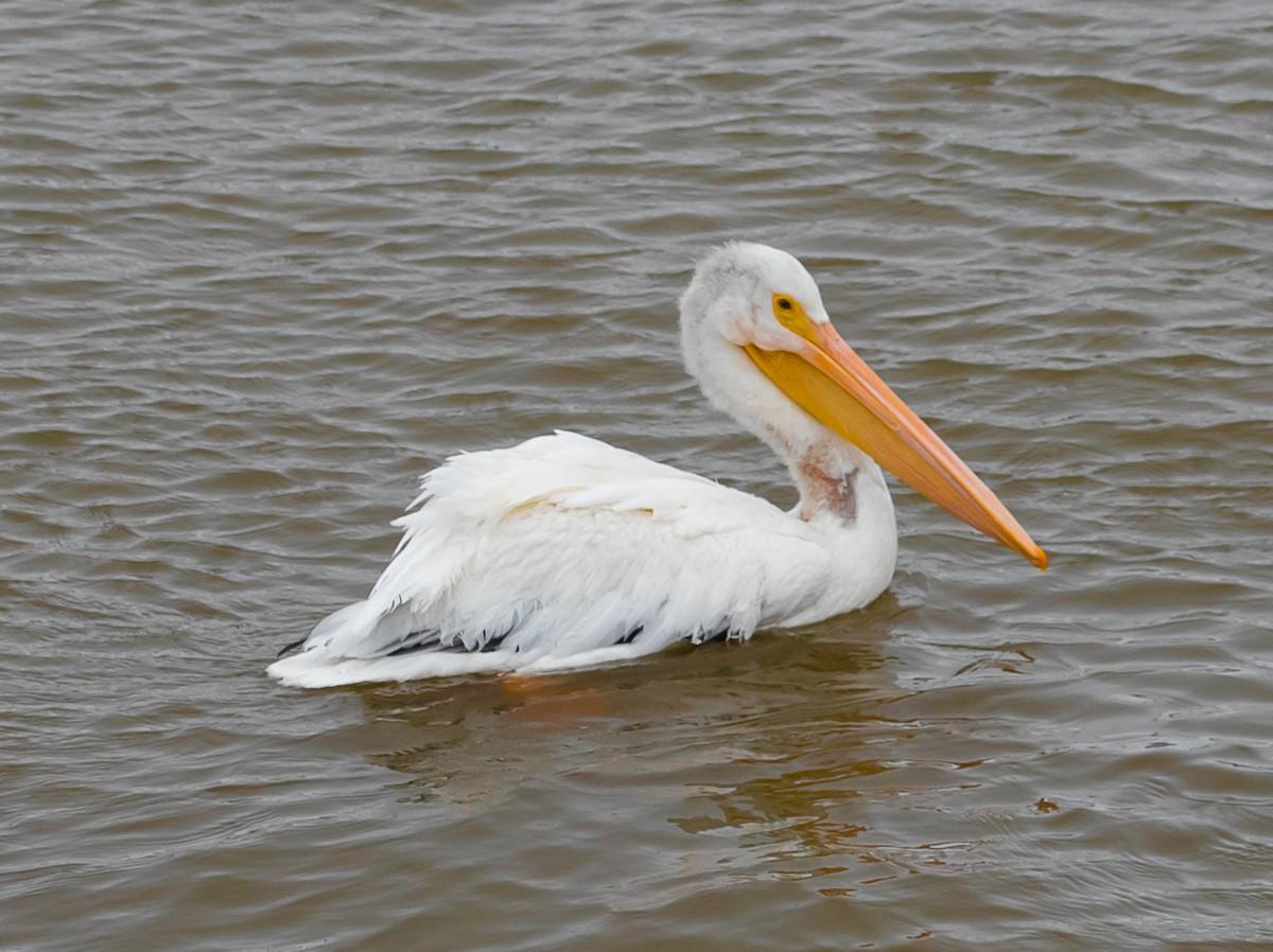 Pelican-0613.jpg