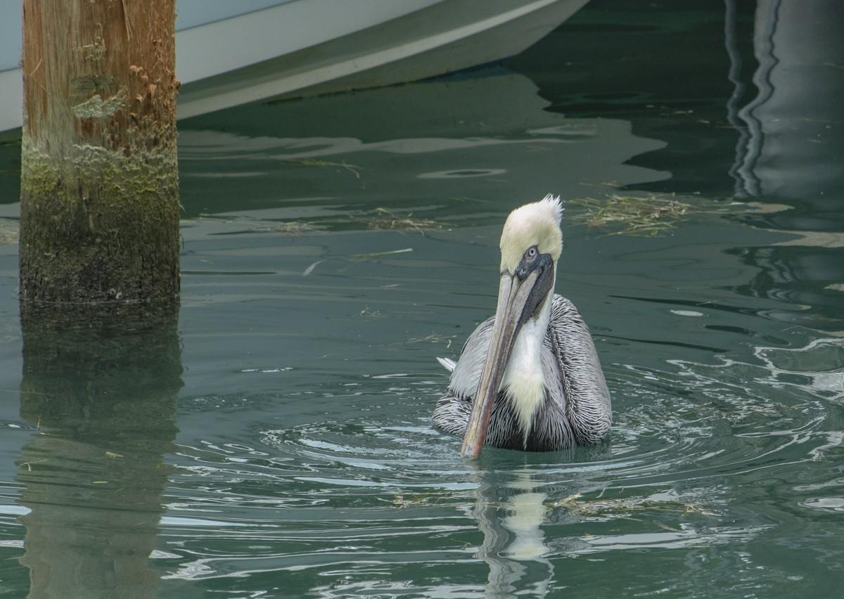 Pelican at Dock.jpg