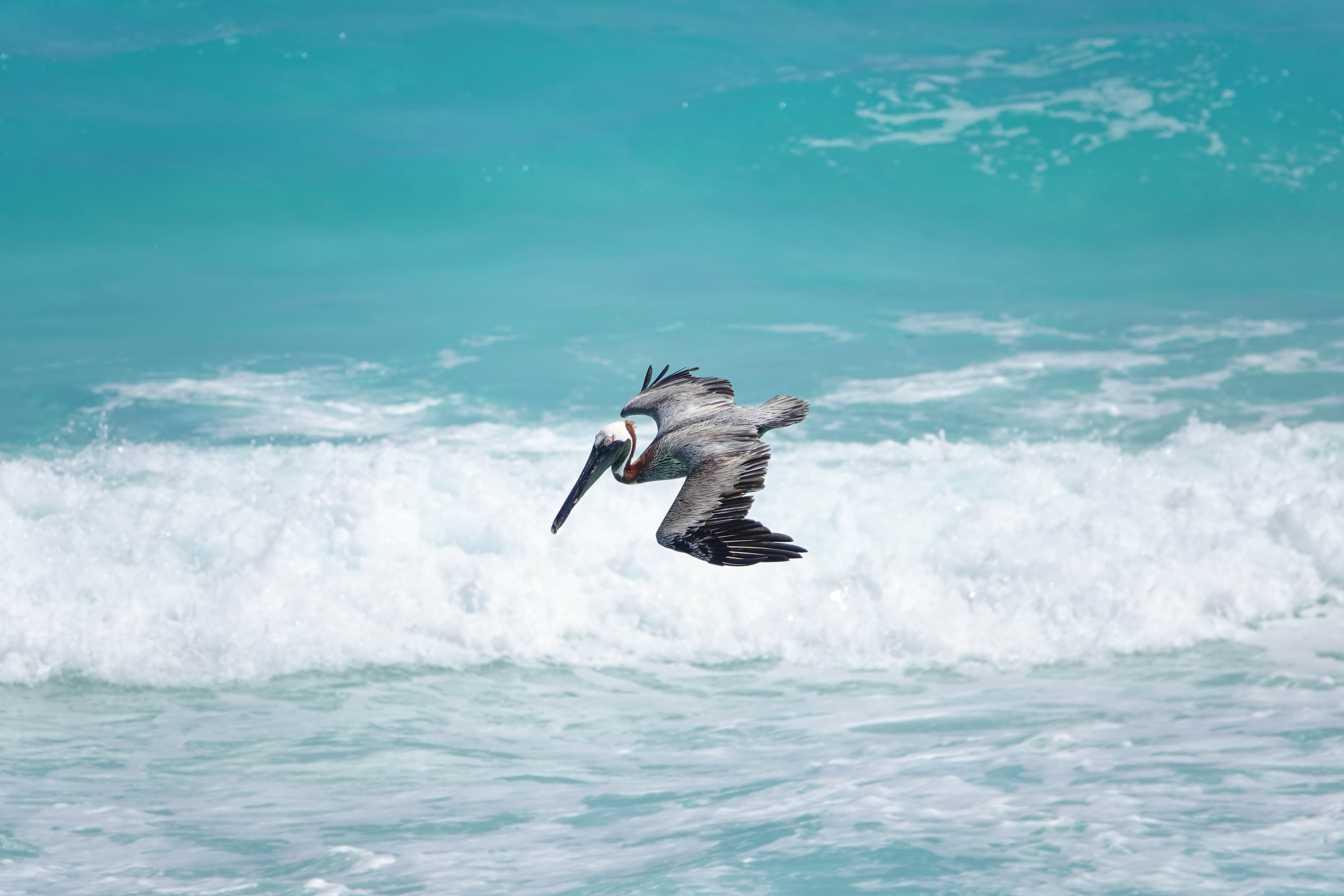 Pelicano in flight2.jpg
