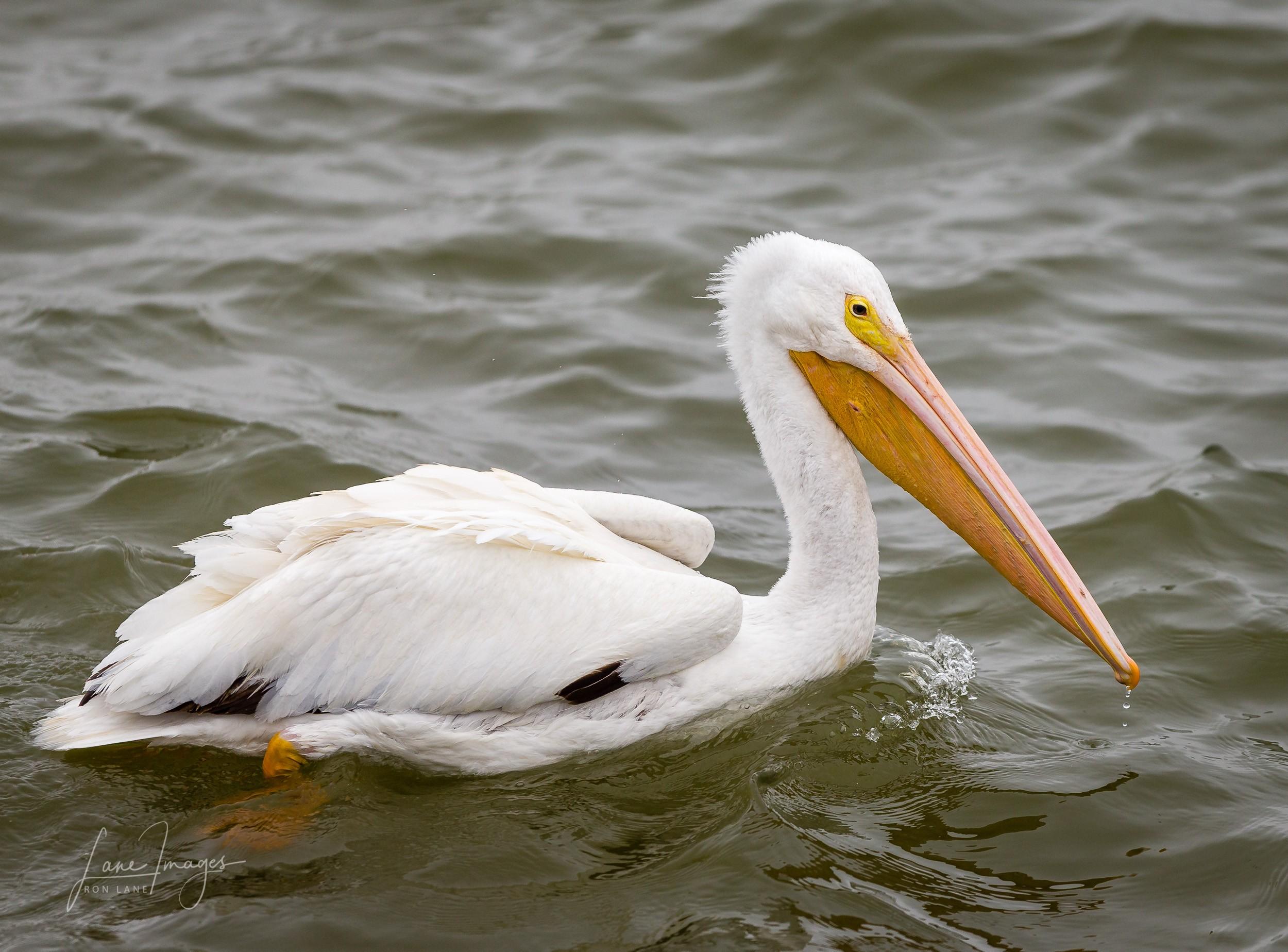 Pelicans-sunday-216.jpg