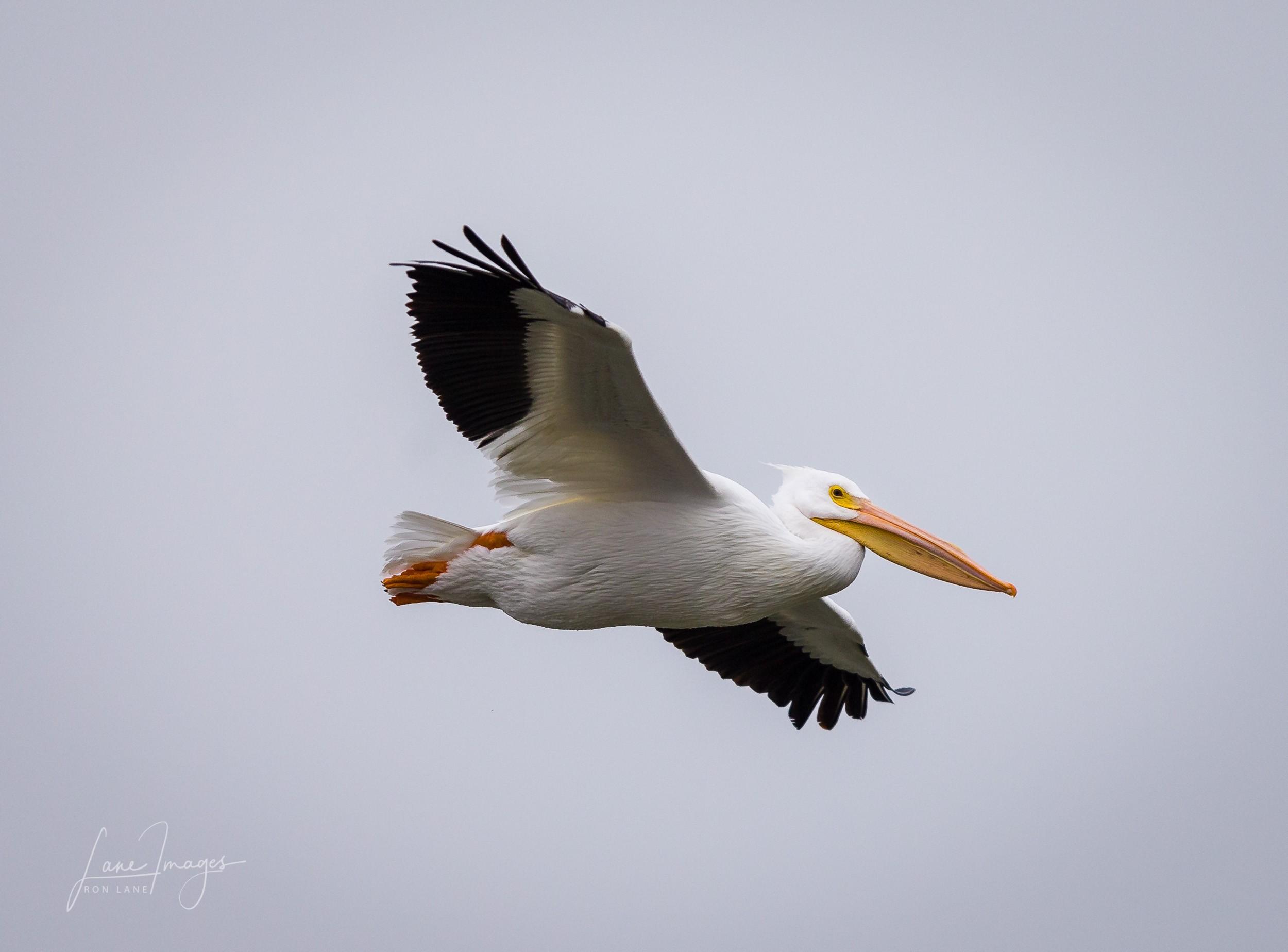 Pelicans-sunday-31.jpg