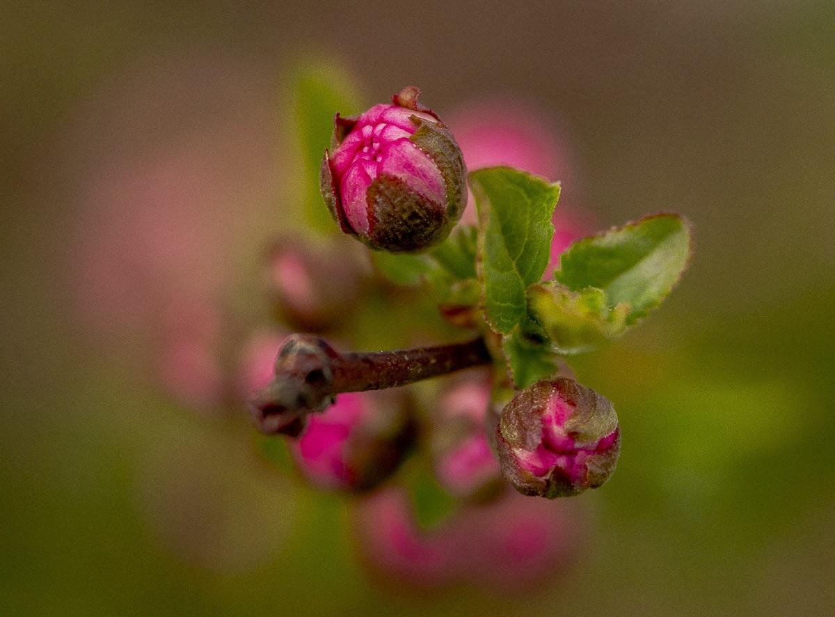 Pink Buds.jpg