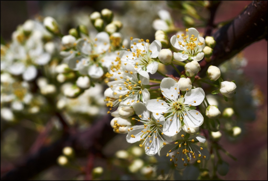 plum_blossoms.jpg