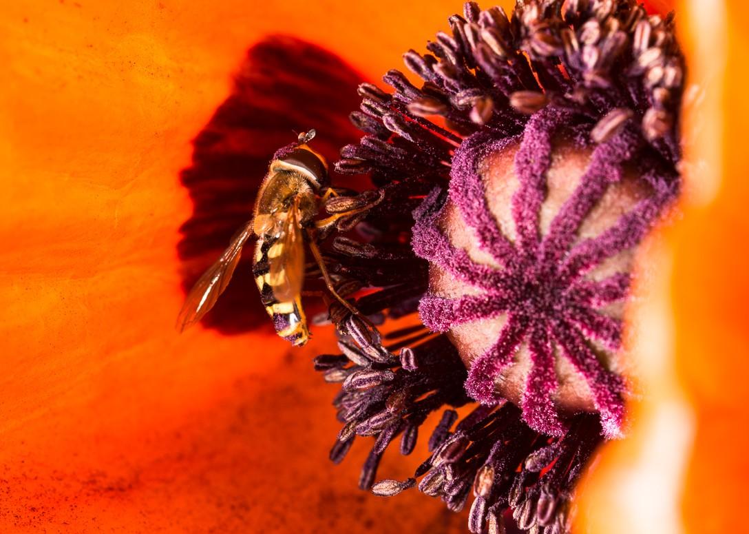 poppy-1-3.jpg