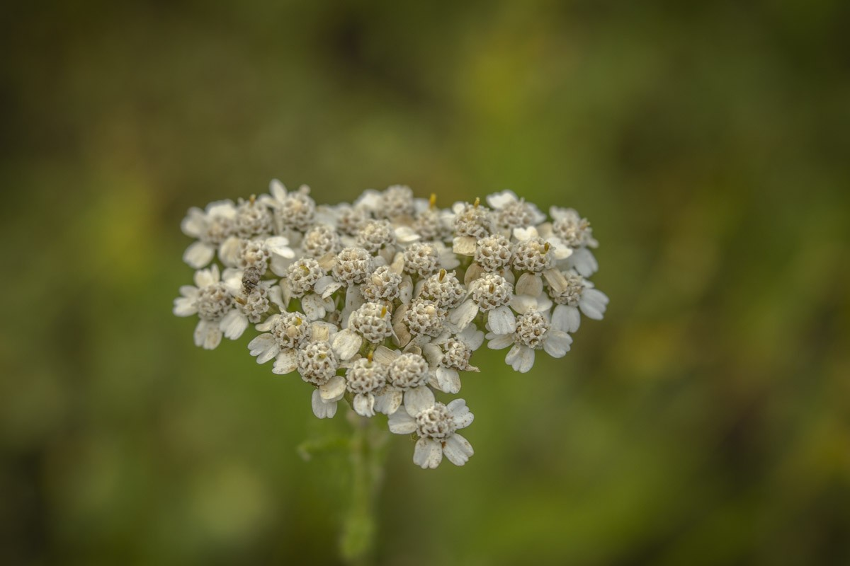 Queen Anne's Lace.jpg