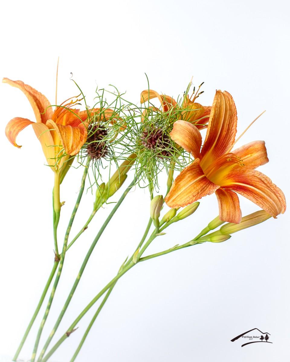 Railroad Lily On White.jpg
