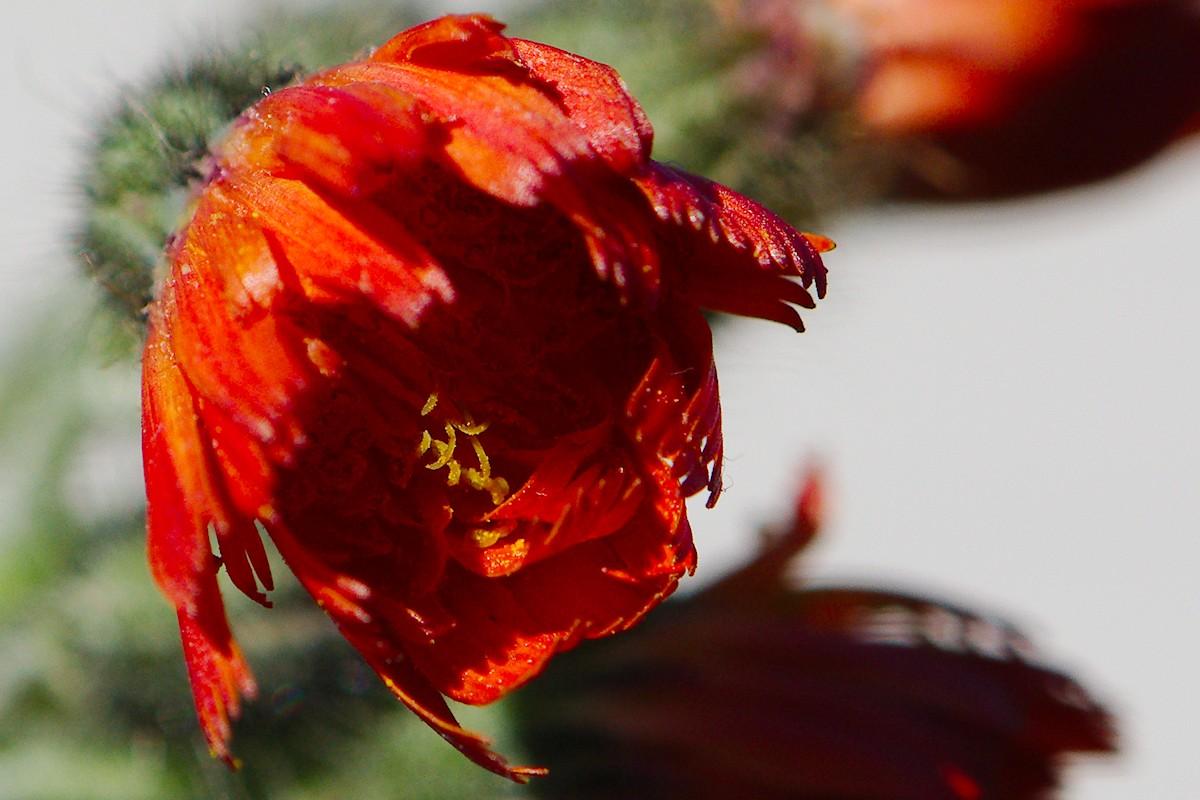Red Weed-2.jpg