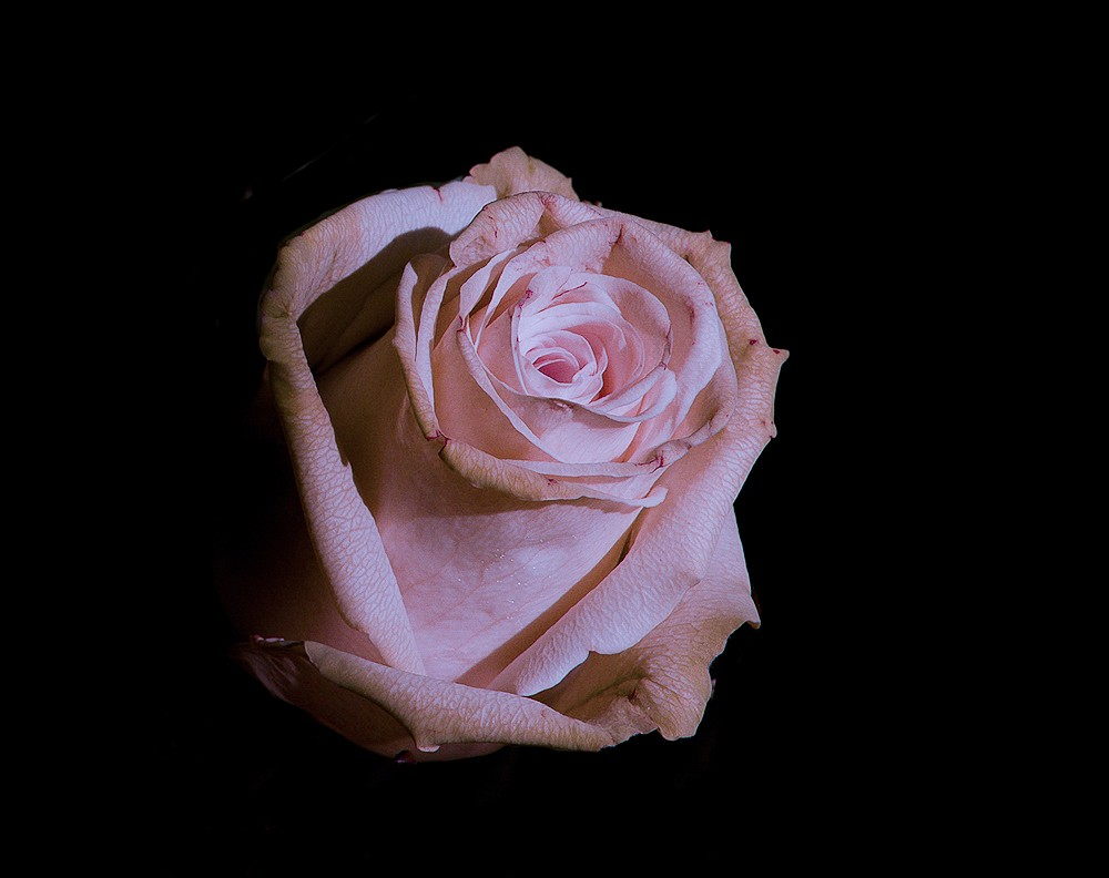 Rose immerges.jpg