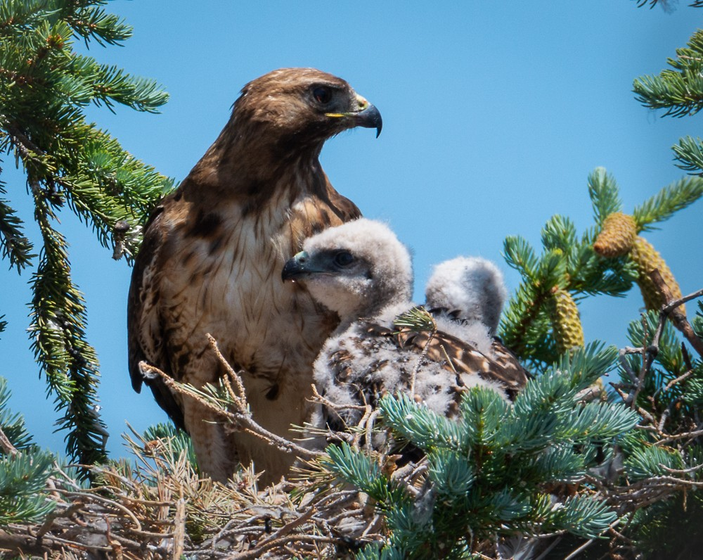 rt hawk chicks-1.jpg