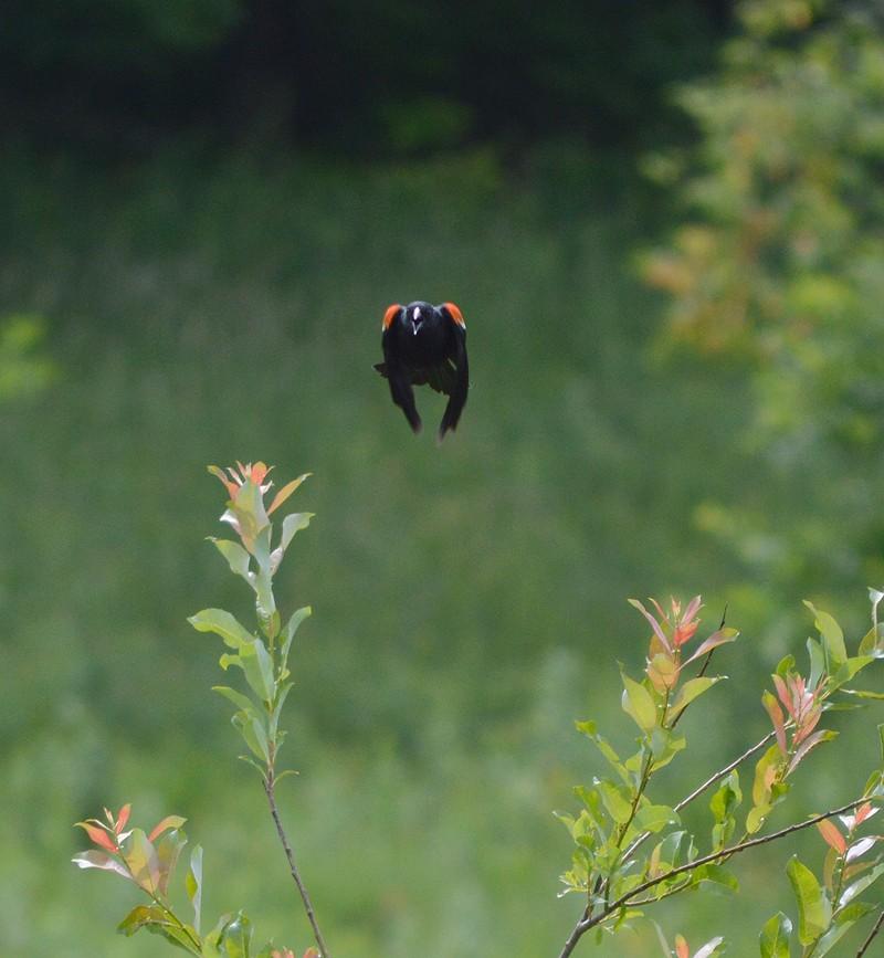 rw  blackbird.jpg