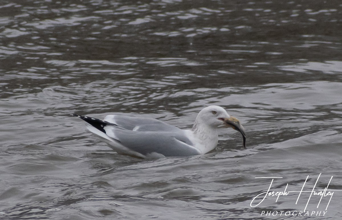 Seagull-0533.jpg